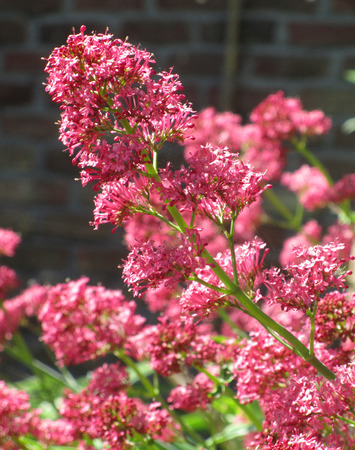 valerian plant: The beautiful pink flowers of Centranthus ruber commonly known as Red Valerian. The plant is native of Mediterranean regions and has edible roots.