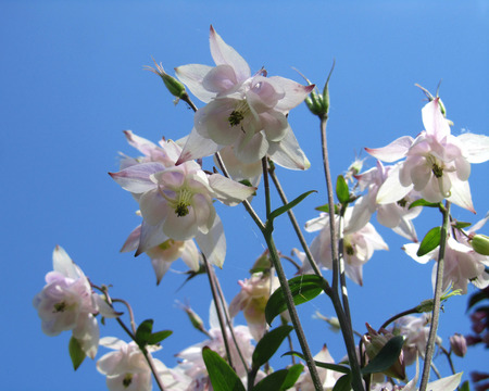 aquilegia: Beautiful backlit pale pink Aquilegia flowers also known as Columbine. Against a blue sky.