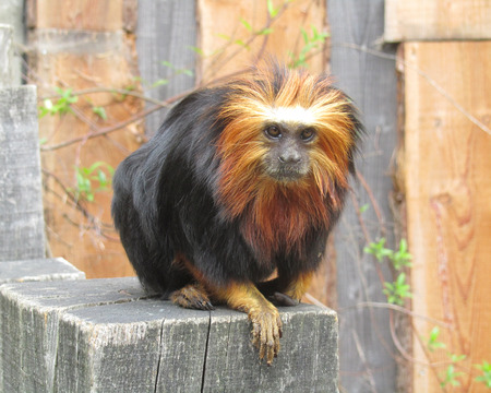 endangered species: Beautiful rare golden-headed lion tamarin Leontopithecus chrysomelas, a lion tamarin endemic to Brazil. It is considered to be an endangered species.
