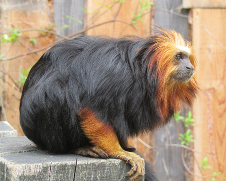 beautiful rare: Beautiful rare golden-headed lion tamarin Leontopithecus chrysomelas, a lion tamarin endemic to Brazil. It is considered to be an endangered species.