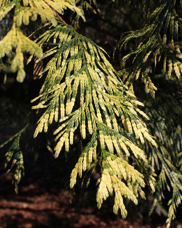 thuja: The beautiful variegated foliage of Thuja plicata Zebrina also known as Western Red Cedar. Stock Photo