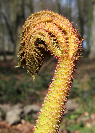 unfurling: The new unfurling leaf of Gunnera manicata or giant rhubarb in spring, against a natural backdrop.