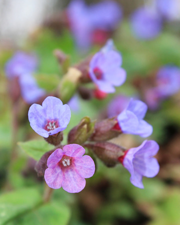 pulmonaria: The pretty lavender flowers of Pulmonaria officinalis in spring. Also known as Lungwort, or Our Ladys Milk drops.