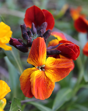wallflower: The brightly colored spring flowers of Erysimum cheiri (Cheiranthus) also known as the Wallflower. Stock Photo