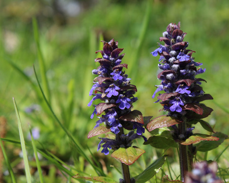 invasive plant: The flowers of Ajuga reptans, commonly known as bugle, bugleweed, or carpetweed. It is an herbaceous perennial plant native to Europe and is an invasive weed in parts of North America. Stock Photo