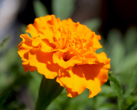 patula: Close up of a bright orange French Marigold flower (Tagetes patula), growing in a garden, with natural green background. Stock Photo