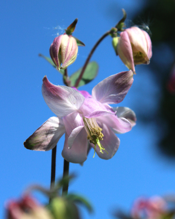 pink columbine: Pale pink flowers of an Aquilegia, also known as Columbine or Grannys Bonnet, against a background of blue sky.