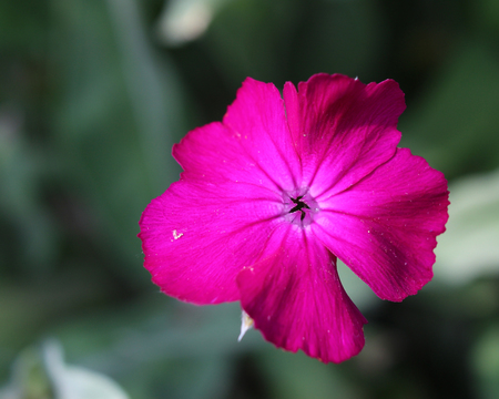 dusty: The bright cerise pink flower of Silene coronaria also known as Rose campion or Dusty Miller.