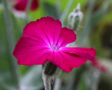 miller: The bright cerise pink flower of Silene coronaria also known as Rose campion or Dusty Miller.