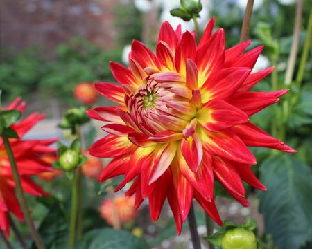 dahlia: La flor abigarrado llamativa de una planta de dalia de dos colores.