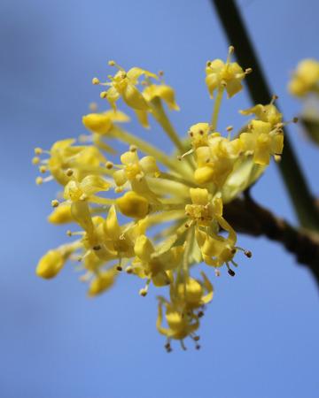 The early bright yellow flowers of Cornus mas also known as Cornelian cherry, European cornel or Cornelian cherry dogwood, sunlit against a background of blue sky. Stock Photo