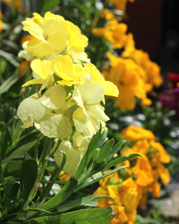 The brightly colored spring flowers of Erysimum cheiri (Cheiranthus) also known as the Wallflower. Stock Photo