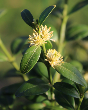 The small white flowers of Buxus sempervirens, also known as boxwood, or common box, in an outdoor setting.