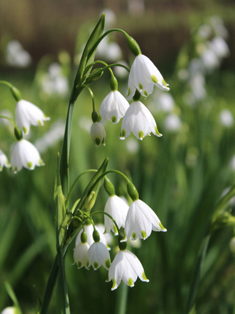 The beautiful white flowers of Leucojum aestivum also known as Summer snowflake or Loddon Lily, growing outdoors in a natural situation. Фото со стока