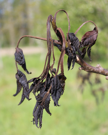 Severely frost damaged and blackened,new growth of a walnut tree Morus nigra. Stock Photo