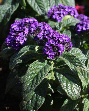 The lovely deep purple flowers of Heliotrope arborescens also known as the Garden Heliotrope a fragrant plant commonly used in summer bedding displays. 版權商用圖片