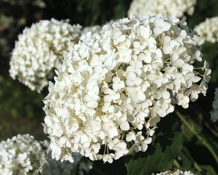 The lovely fresh white flowers of Hydrangea arborescens Annabelle, also known as Hortensia, against a dark backgorund. Stock Photo