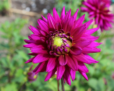 The striking deep purple flower of the popular garden plant the Dahlia, growing outdoors in a garden setting. Stock Photo