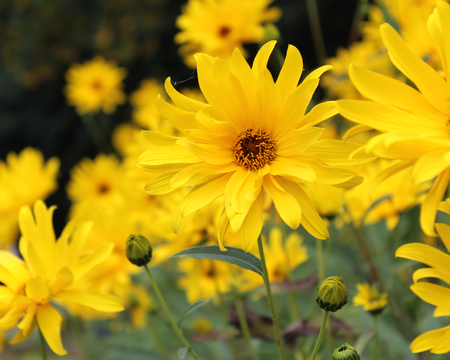 The beautiful bright yellow flowers of the Perennial Sunflower, Helianthemum tuberosum. Flowering profusely in the summmertime.