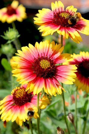 The bright yellow and red flowers of gaillardia pulchella picta stock photo the bright yellow and red flowers of gaillardia pulchella picta also known as blanket flower it is a short lived perennial plant native to mightylinksfo