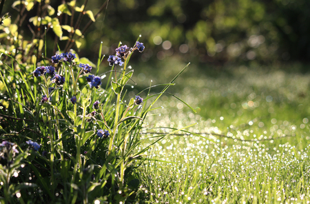 Beautiful early morning in a sunlit wild flower meadow in the spring. With forget me not flowers and dewy grass. Stock Photo