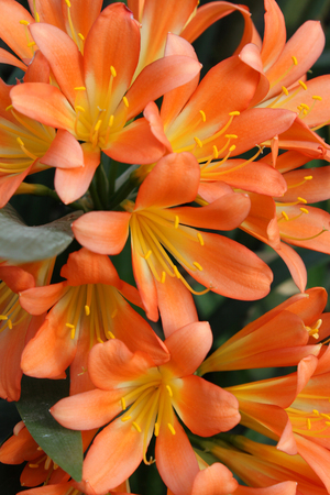 The beautiuful bright orange flowers of Clivia miniata also known as Natal Lily, Bush Lily or Kaffir Lily.