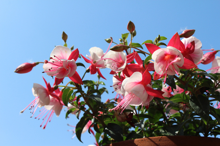 The bright bi- colored flowers of a pink and white Fuchsia, flowering in the summertime, against a background of blue sky.