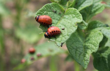 Two larvae of the Colorado potato beetle (Leptinotarsa decemlineata), feeding on potato plant foliage.