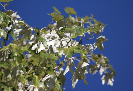 Lovely silvery white foliage of the tree Populus alba (White Polar) against a background of clear blue sky. Reklamní fotografie - 117172529