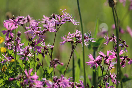 Close up of beautiful pink Ragged robin flowers. Also known as Lychnis flos-cuculi, in a natural summer meadow. Pink wild flowers, background.
