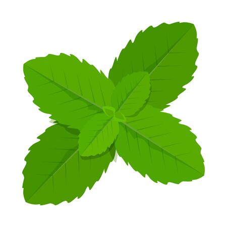 Green mint leaves vector isolated. Healthy menthol ingredient. Organic aromatic herb. Fresh leaf of the plant