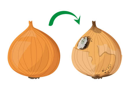 Fresh onion becomes rotten vector isolated. Organic natural product, healthy raw food. Rotting product, mold on the onion, damaged meal. Ilustrace