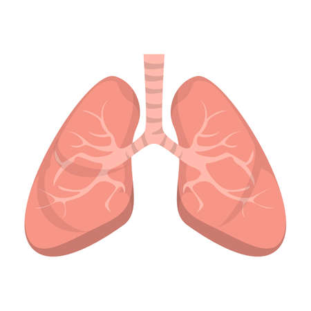 Human lungs vector isolated. Concept of science and medicine, internal organ. Part of the respiratory system.
