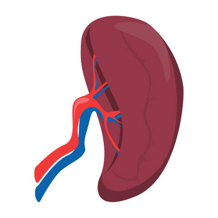 Spleen vector isolated. Internal organ, human anatomy. Concept of science and medicine. Part of the immune system.