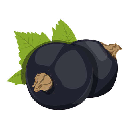 Black currant vector isolated. Vegetarian food, sweet natural dessert. Berries and green leaves. Fresh healthy nutrition.