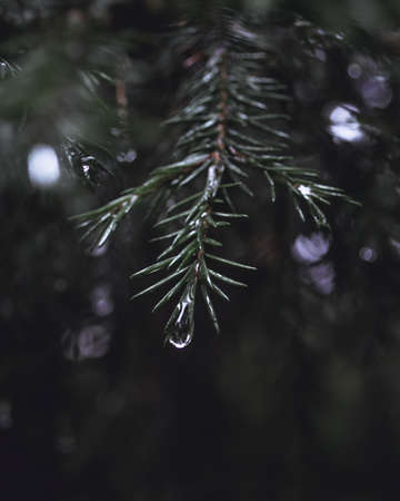Water drop on the spruce branch. Macro of a raindrop, part of a evergreen tree. Dark and mystic atmosphere. Wet weather, beautiful nature.