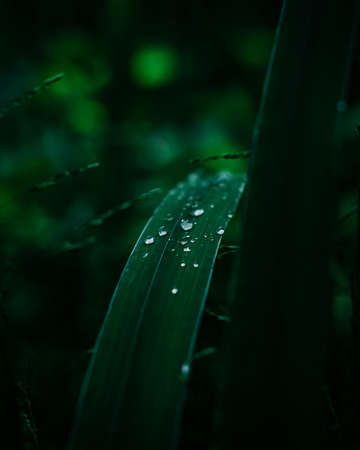 Water drops on the grass. Dew drop, purity and freshness. Dark closeup of small raindrops. Beautiful nature, outdoor life. Environment in details. Фото со стока