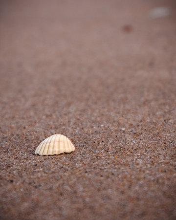 White seashell on the sandy background. Sand beach, nature beauty. Summer on the seaside. Marine life. Closeup of a seashell on the beach.
