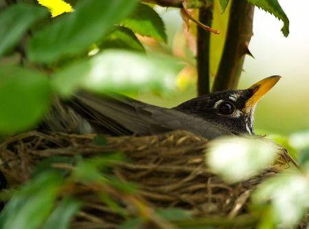 그녀의 둥지에 계란에 앉아 로빈 스톡 콘텐츠
