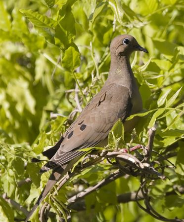 a Mourning Dove on a branch