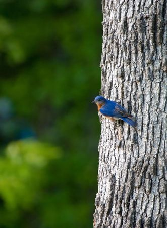 A Bluebird perched on the side of an oak tree Фото со стока
