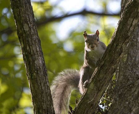 A Squirrel climbing a tree, looking at the camera. Фото со стока