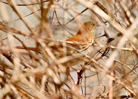 A Thrasher peering through the brush