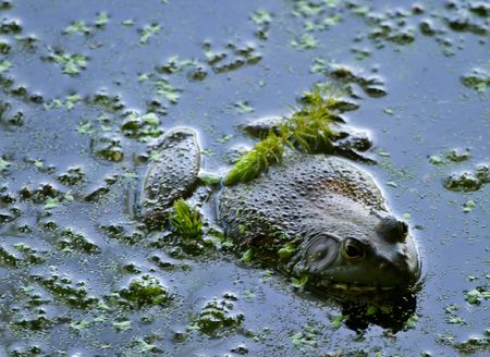 a Bullfrog in still water