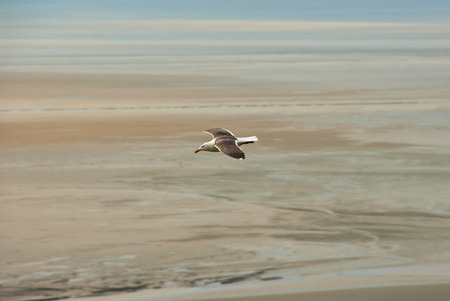 A white seagull with fully spread wings flying over the sand of Mont Saint-Michel beach during low tide