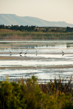 Herons in the water of nature reserve of Vendicari in south-eastern Sicily with tree reflection photo