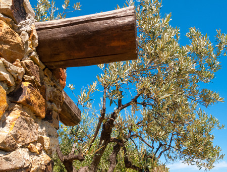 olive tree with parts of rural house on Monte Argentario with the background of the blue sky on a beautiful summer day
