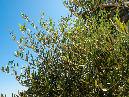 olive tree branches with leaves and olives and blue sky in the background on a beautiful summer day