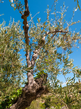 branches and trunk of an olive tree with leaves and olives and countryside in the background on a beautiful summer day with blue sky