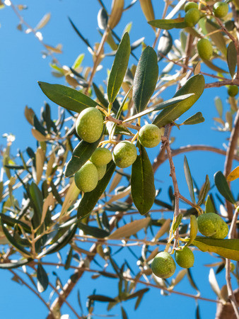 closeup of olives and olive tree with leaves on a background of blue sky and sea in a beautiful summer day Banco de Imagens